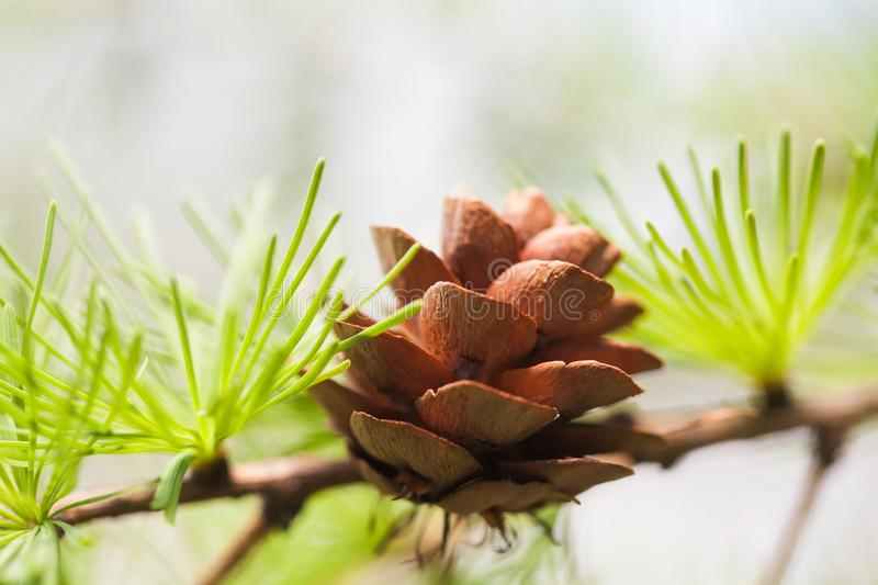 Pine tree branch with pine-cone, pinecone. Macro nature, green energy concept. soft focus, shallow depth field.  stock photography