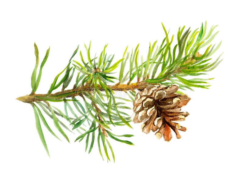 Pine tree branch with cone. Watercolor royalty free stock photo