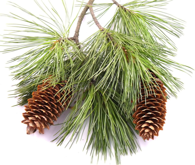 Pine Tree Branch And Cones royalty free stock photo