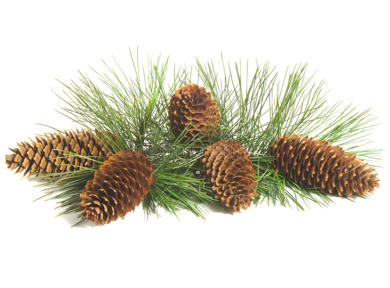 Pine Tree Branch And Cones stock images