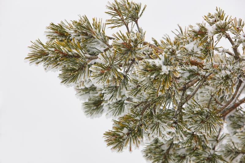 Pine tree branch detail on a snowy winter day. stock image