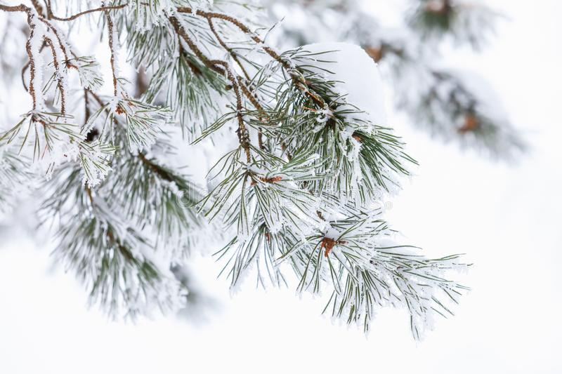 Pine tree branch with frost and snow. Over white background, macro photo with selective focus stock photo