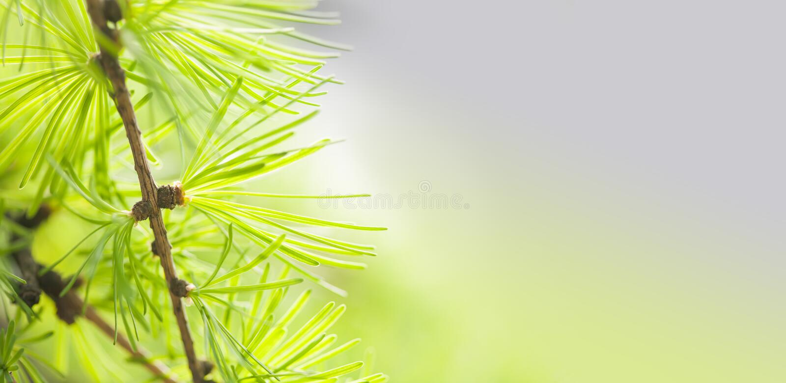 Pine tree branch with greenery needles close-up. Forest tree macro view. soft focus. Spring time season concept. Copy. Space stock image