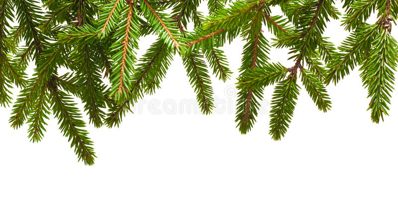 Pine tree branch. Isolated on white royalty free stock photo