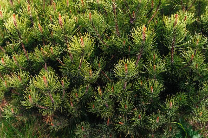 Pine tree branches close-up photo. stock images