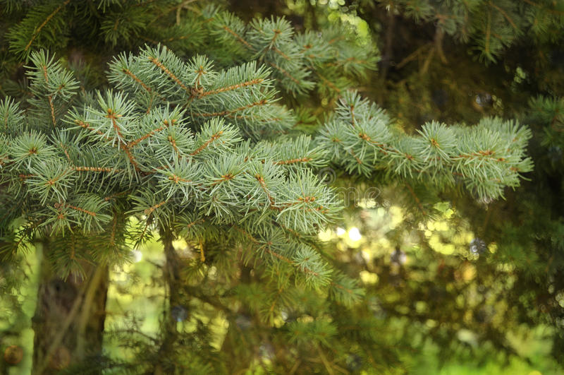Pine-tree branches closeup royalty free stock photos