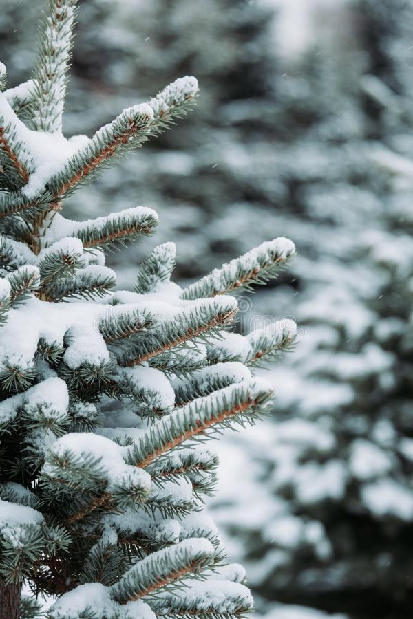 Free Pine Tree Branches Covered With Snow. Frozen Tree Branch In Winter Forest. Beautiful Winter Season Background. Stock Photos - 134017243