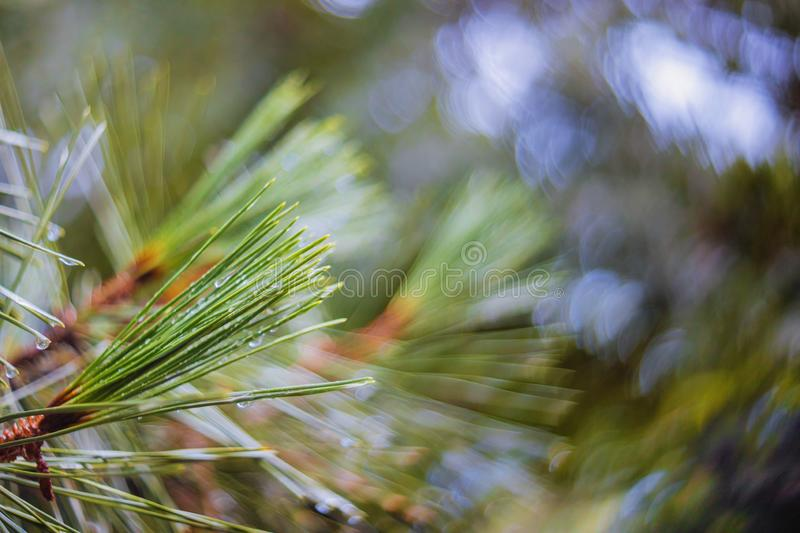 Pine tree branches after rain selective focus highlights and raindrops. Pine tree branches after rain selective focus highlights raindrops, coniferous, green royalty free stock image