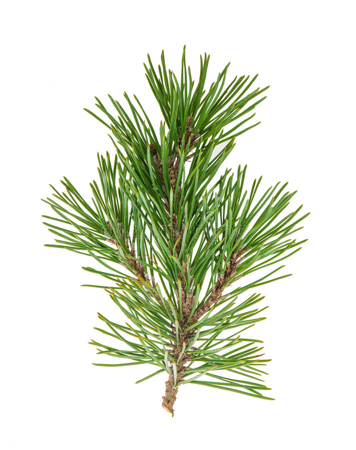 Free Pine Tree Branches With Cones Isolated On White Royalty Free Stock Photo - 79668045