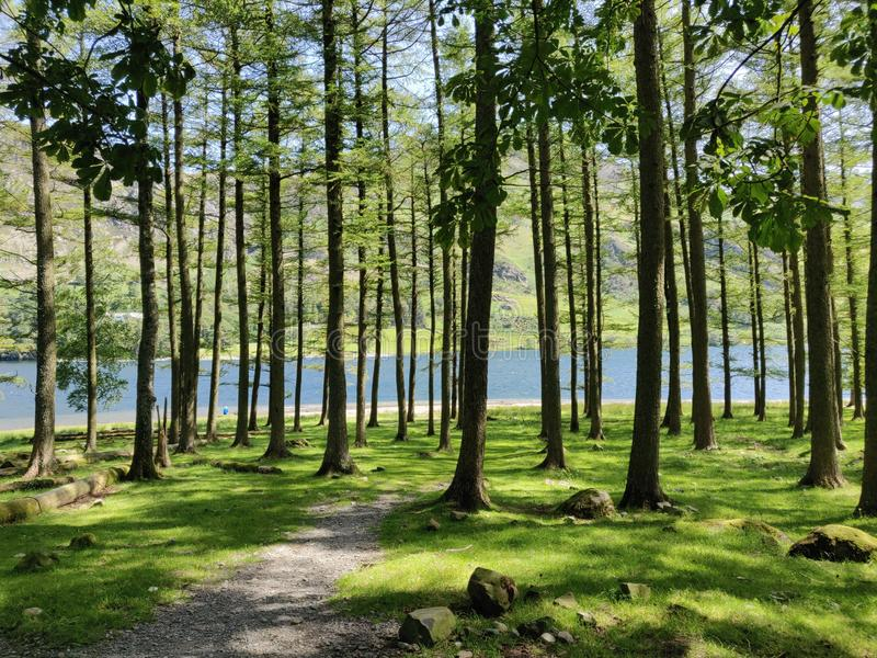 Pine tree Buttermere lake royalty free stock photos