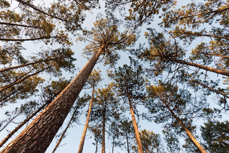 Pine Tree Canopy. Wide view, from bellow, of tall pine tree canopy royalty free stock photos