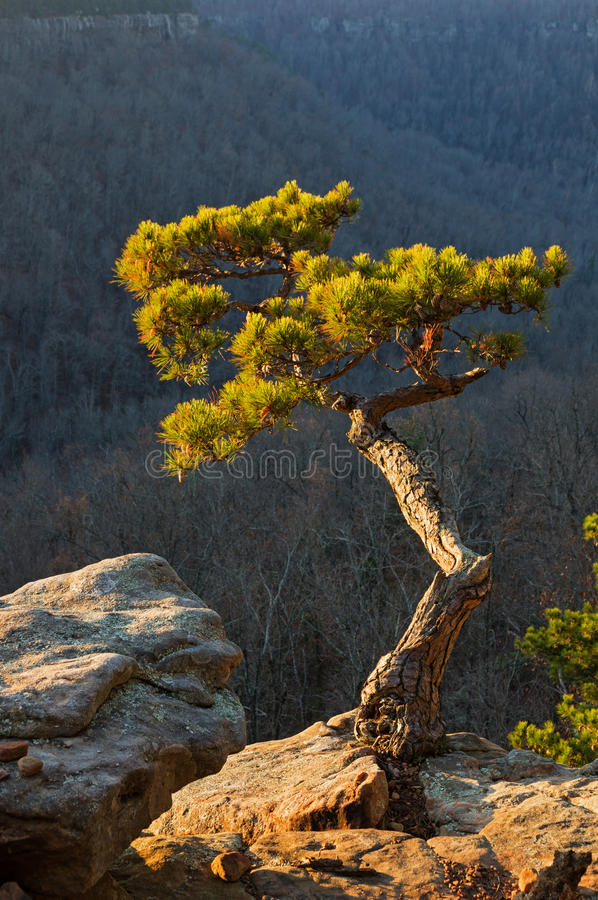 Pine Tree On Cliff Edge. Pine tree growing on cliff edge lit up by early morning light stock images