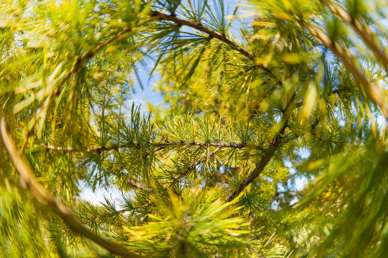 Pine tree close-up of needles and branches royalty free stock photos