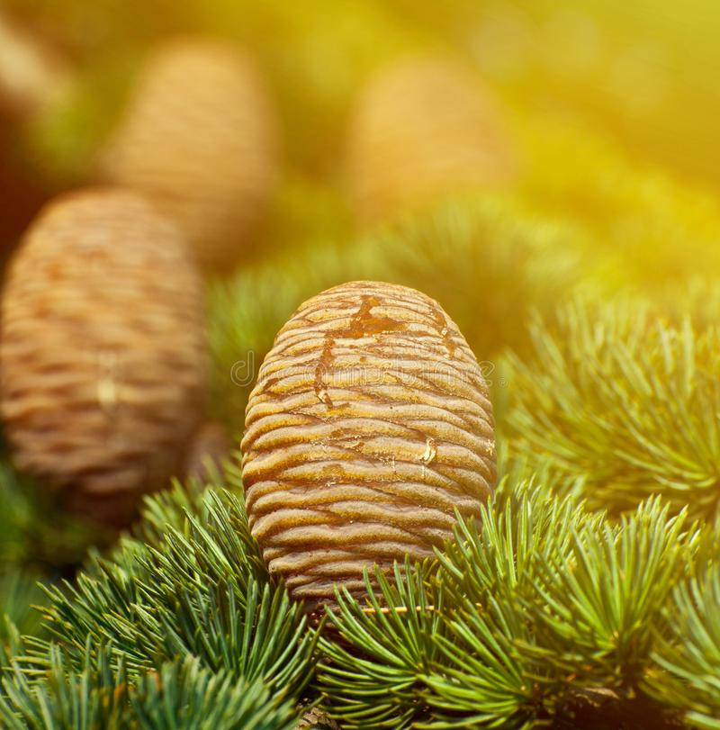 Pine tree and cones closeup royalty free stock photos