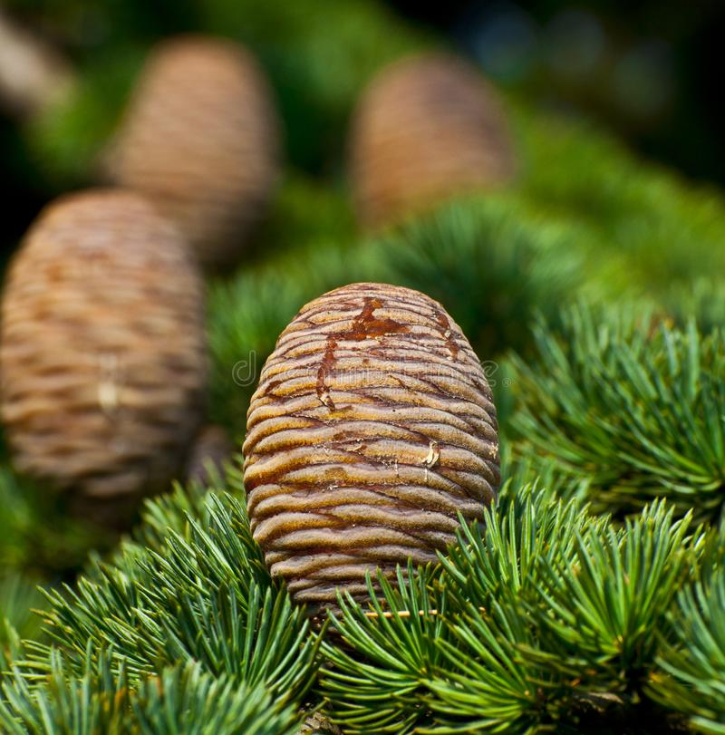 Pine tree and cones closeup stock photo