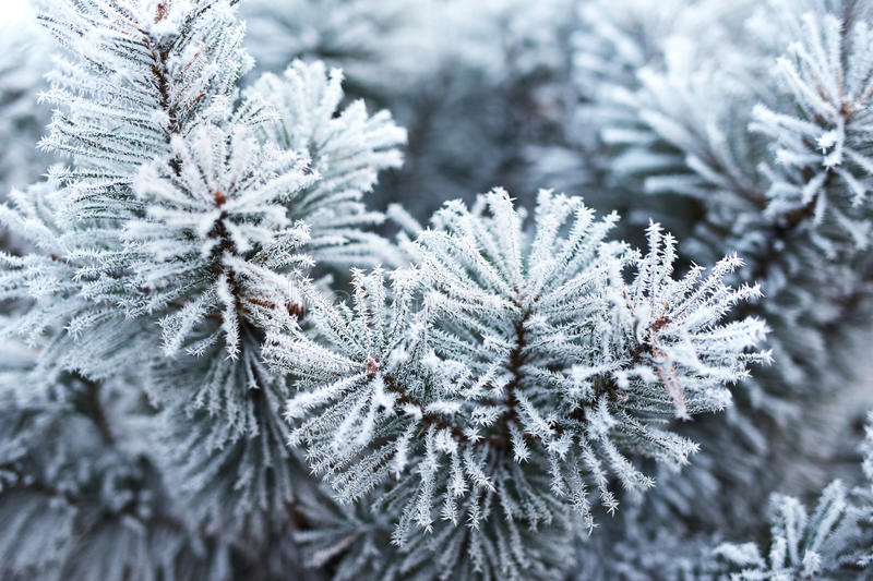 Pine tree covered with frost royalty free stock photography