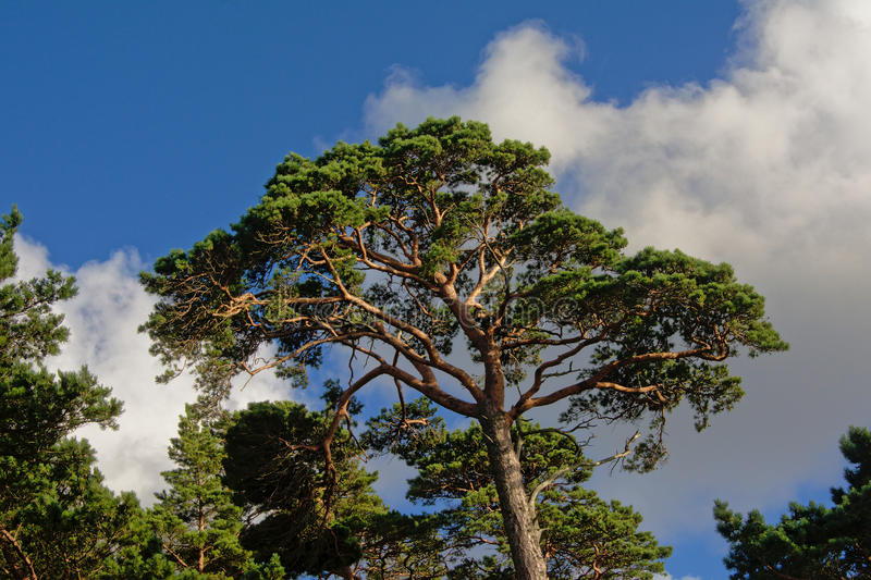 Pine tree crown. Pine tree crest in a LAtvian forest against blue sky with puffy clouds, view from below royalty free stock photography