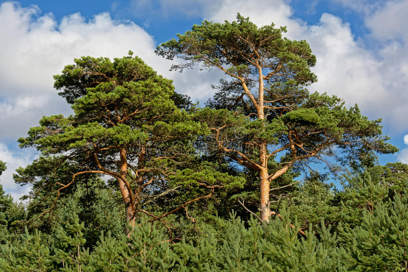 Pine tree crests. In a LAtvian forest against blue sky with puffy clouds, view from below royalty free stock images