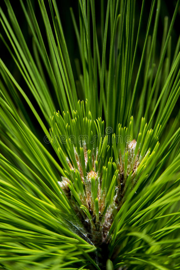 Pine tree detail stock images