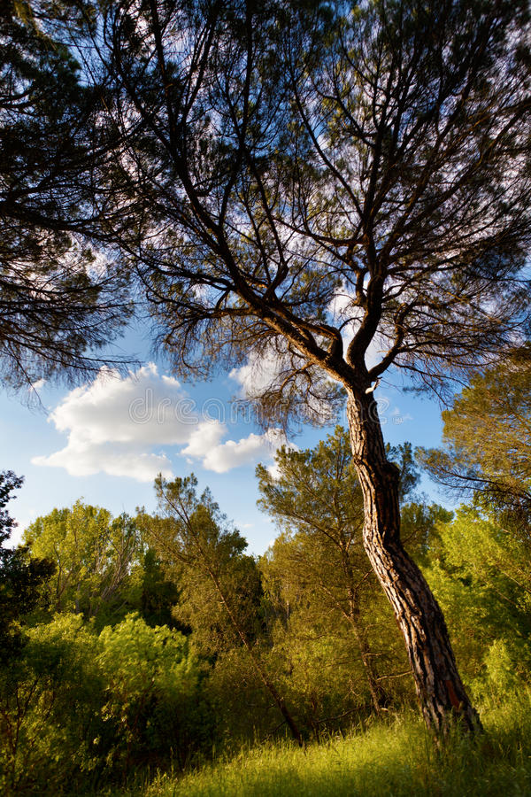 Download Pine Tree at Douro River stock image. Image of resources - 32042573