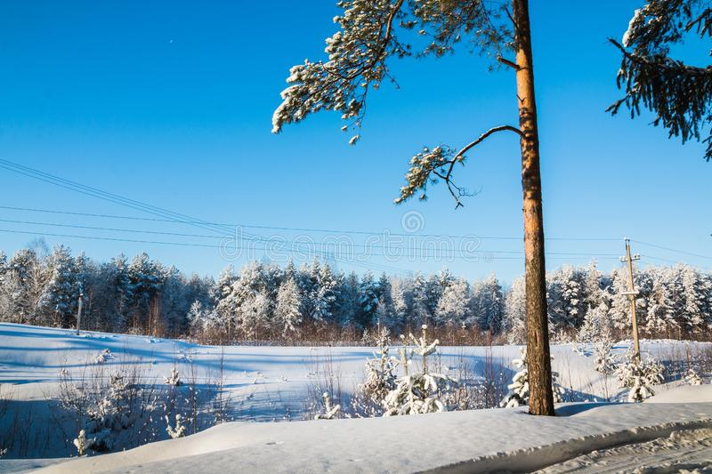 Pine tree in a field full of snow and winter forest in the background stock images