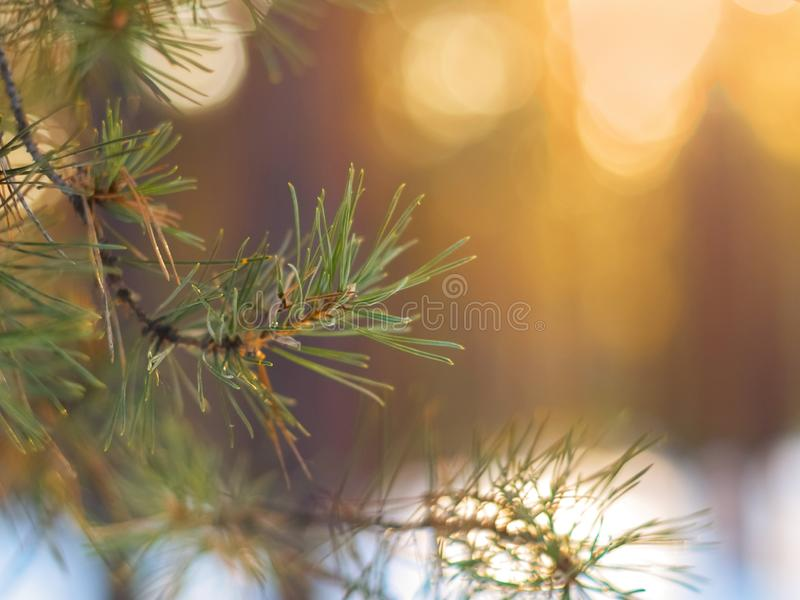 Pine Tree Fir Branch In The Winter Forest. Colorful Blurred Warm Christmas Lights In Background. Decoration, Design Concept With C stock images