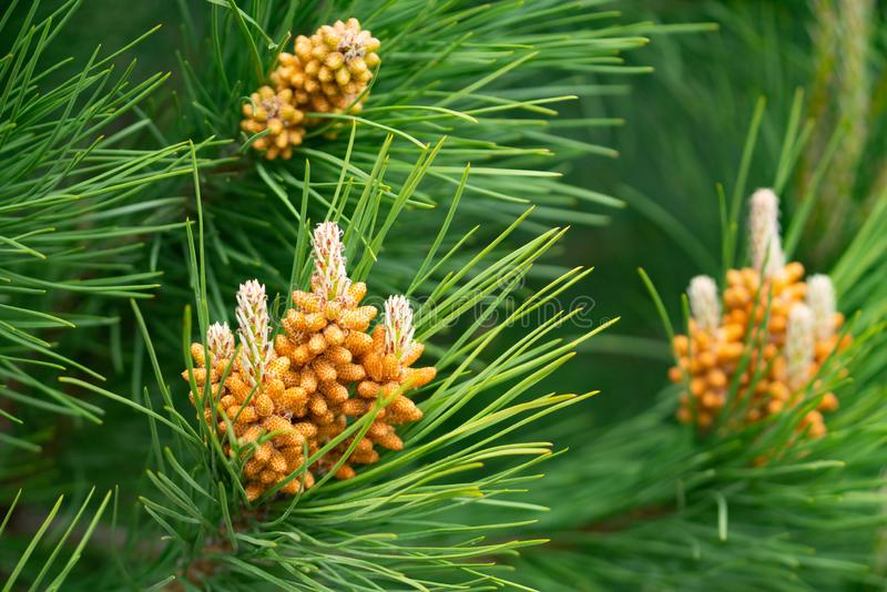Pine tree flower closeup royalty free stock photography