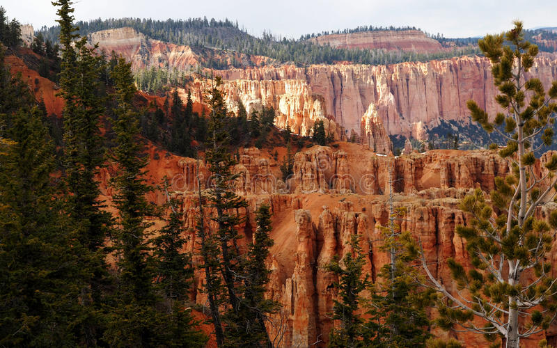 Pine Tree Forest of Bryce Canyon royalty free stock image