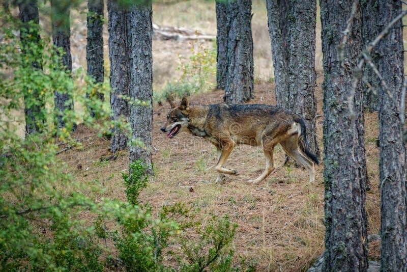 Canis Lupus Signatus profile between pine tree trunks stock photos