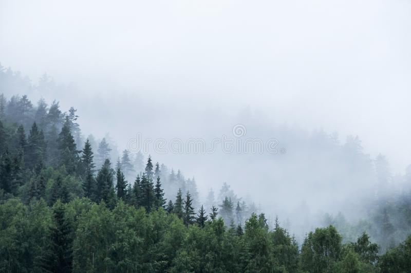 Pine tree forest on mountain in fog royalty free stock photo