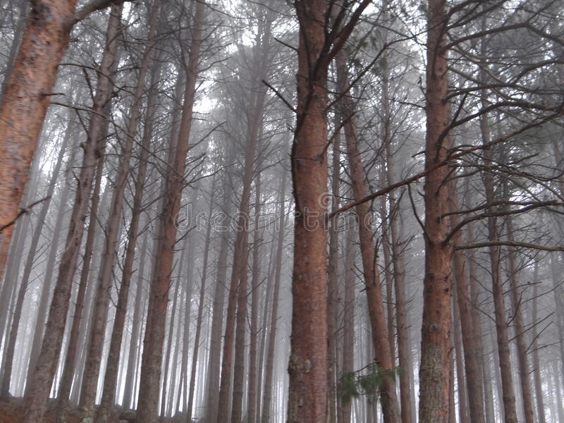 Misty Pine Tree Forest stock images