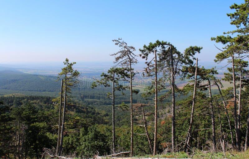 A pine-tree forest. Near Budakeszi, Hungary royalty free stock photography