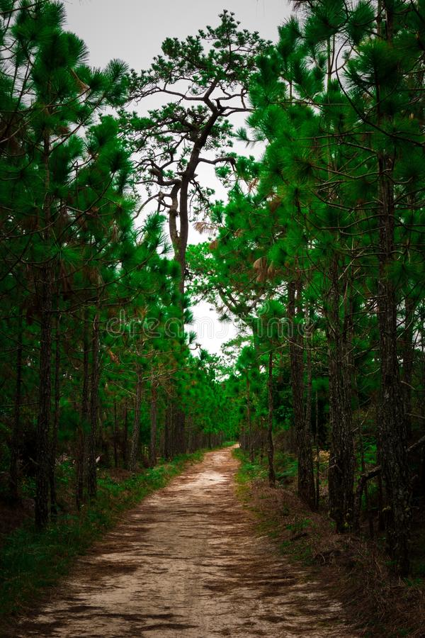Nature background of forest path along pine tree. Pine tree forest path sand road cloudy sky nature background royalty free stock images