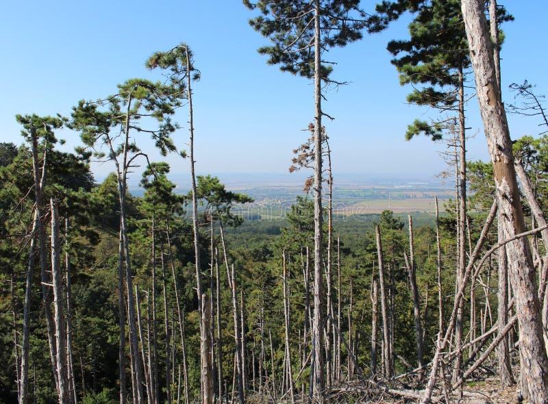 A pine-tree forest. Near Budakeszi, Hungary royalty free stock photo