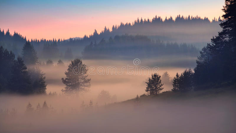 Pine tree forest at sunrise stock photos