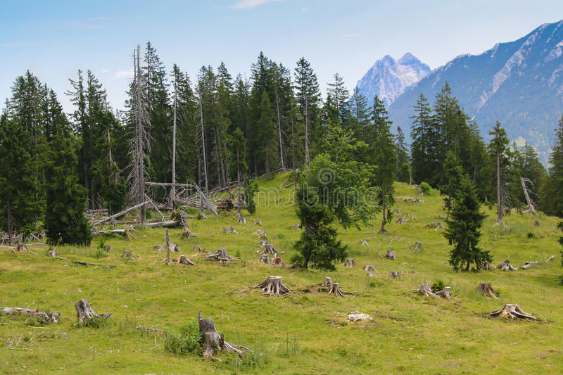 Pine tree forest with trees being cut down royalty free stock photography