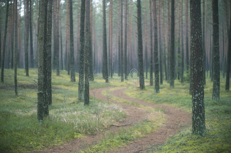 Pine tree forest. Pine trees and a forest path stock photography