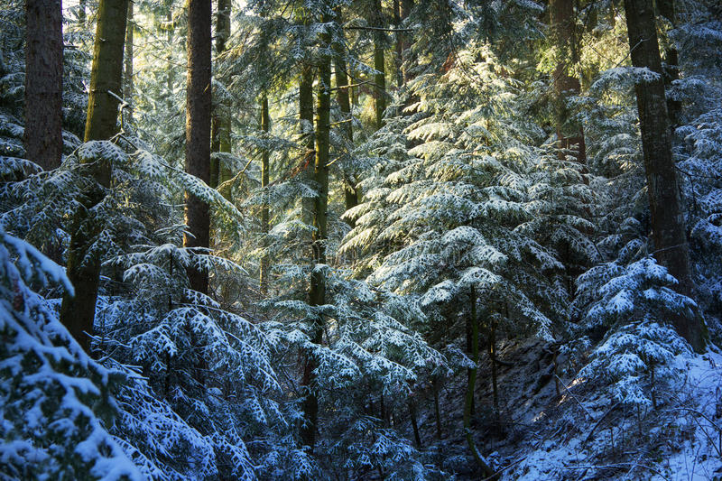 Download Pine Tree Forest During Winter Stock Image - Image: 28780111