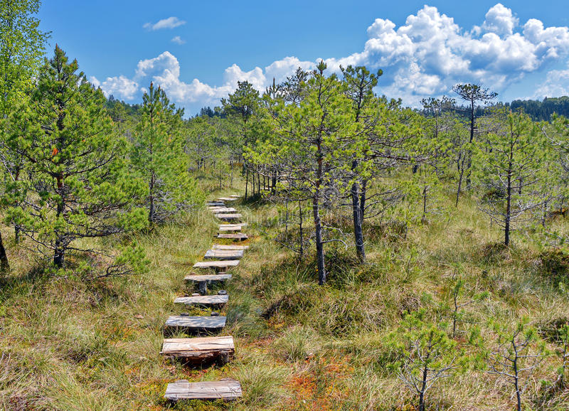 Pine Tree Forest. With wood path under a cloudy blue sky royalty free stock image