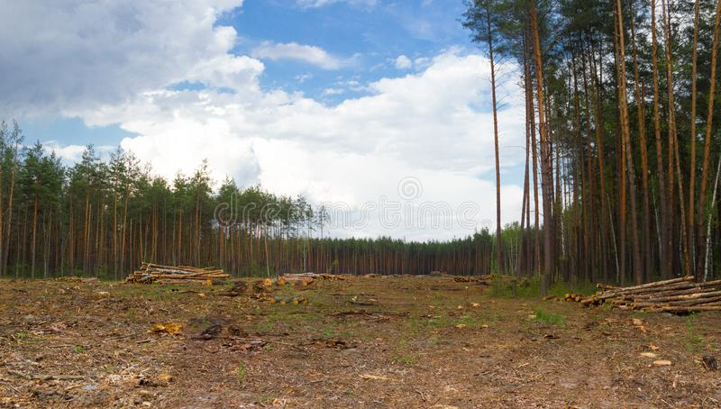 Pine tree forestry exploitation in Kiev. Empty field result of tree felling. Total deforestation area, cut forest royalty free stock images