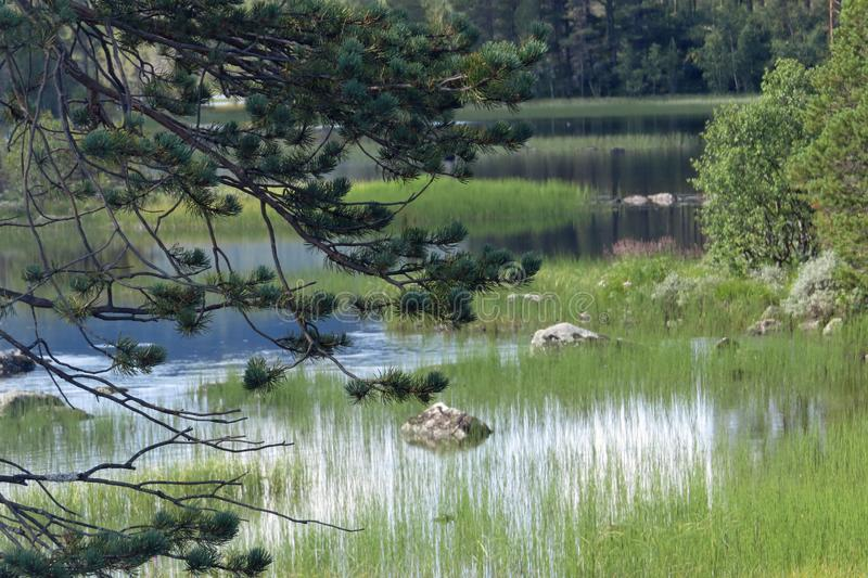 Pine tree in front of a beautiful lake landscape with sea grass and rocks; bottom of Hardangervidda, Norway, Europe royalty free stock images