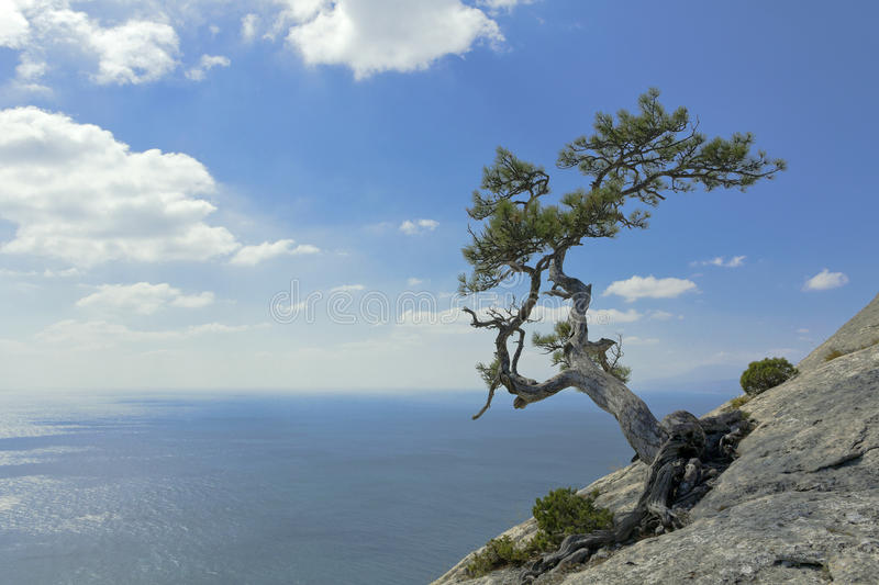 Pine tree growing on top of a cliff above the Black sea.  stock image