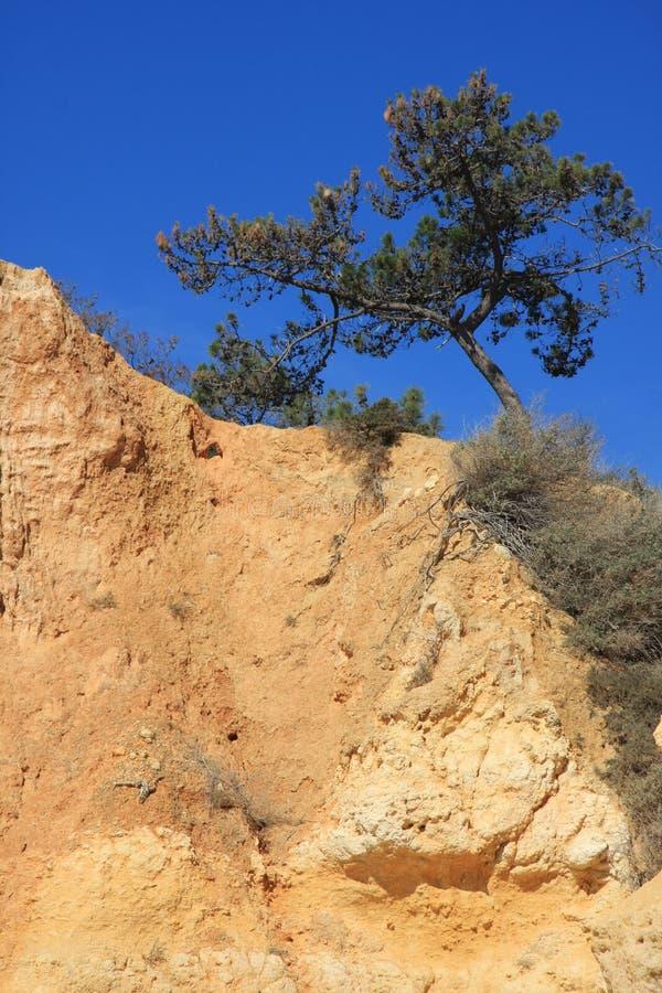 Pine tree growing on yellow rock. stock photos