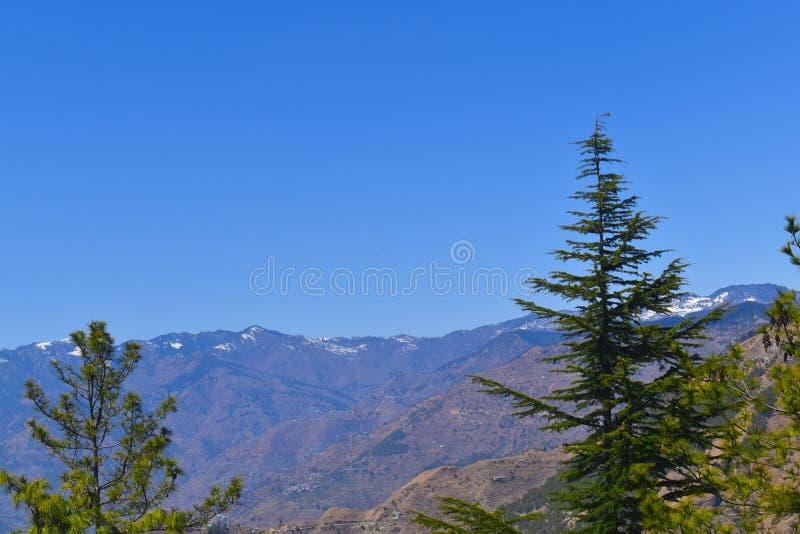 Pine tree of himachal pradesh stock photo