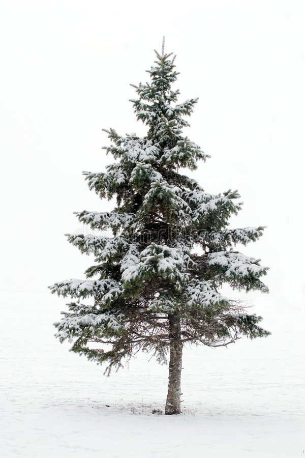 Free Pine Tree In Winter Stock Photos - 372433