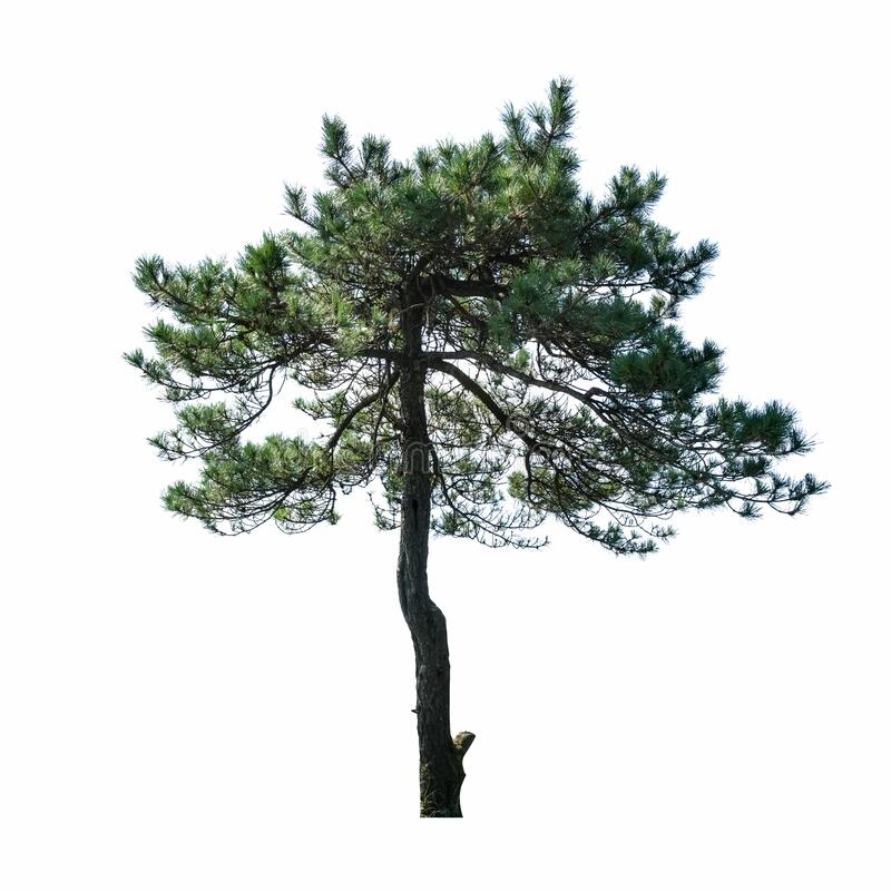 Pine tree isolated royalty free stock images