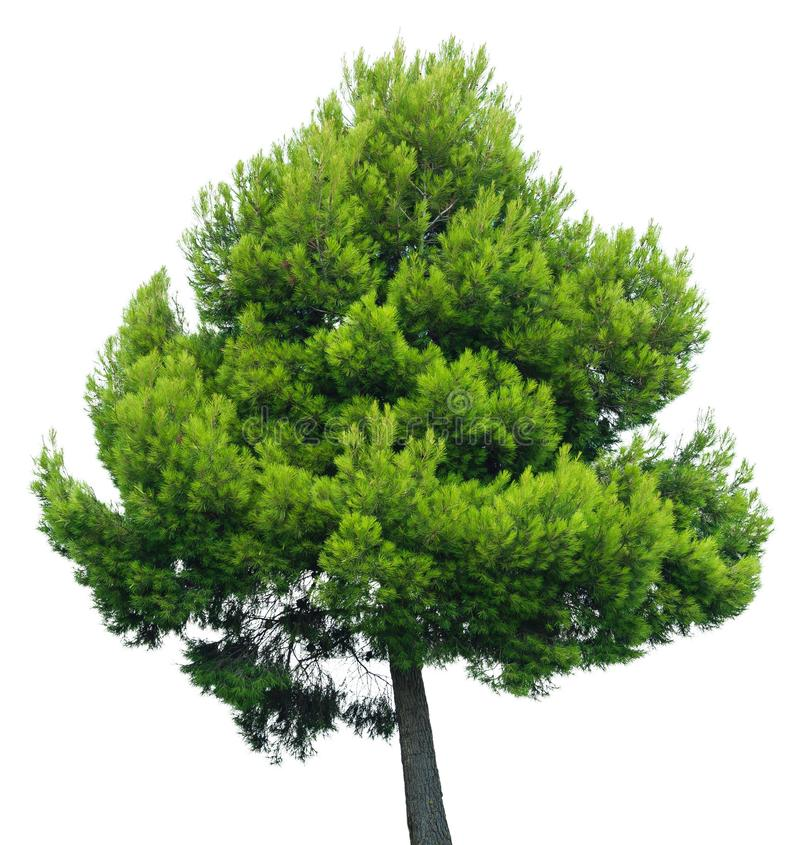 Pine Tree isolated on white background royalty free stock image