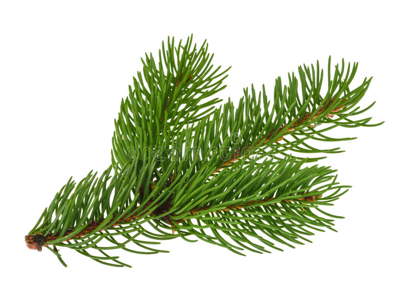 Pine tree isolated on white without shadow stock photography