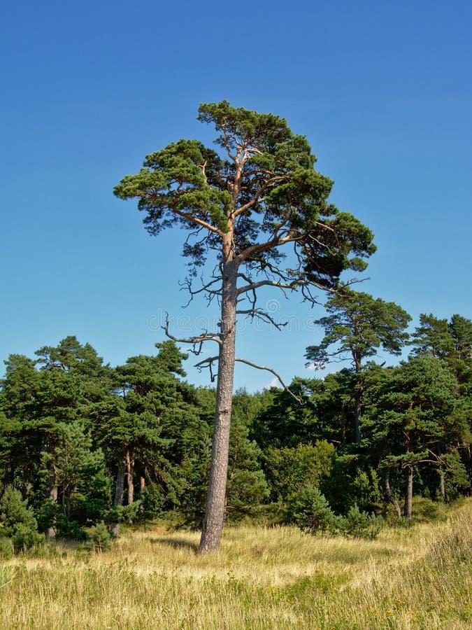 Pinee tree in Karosta forest , Liepaja, Latvia. Pine tree in a Karosta landasceap on a sunny summerday with blue sky, Liepaja, Latvia stock photography