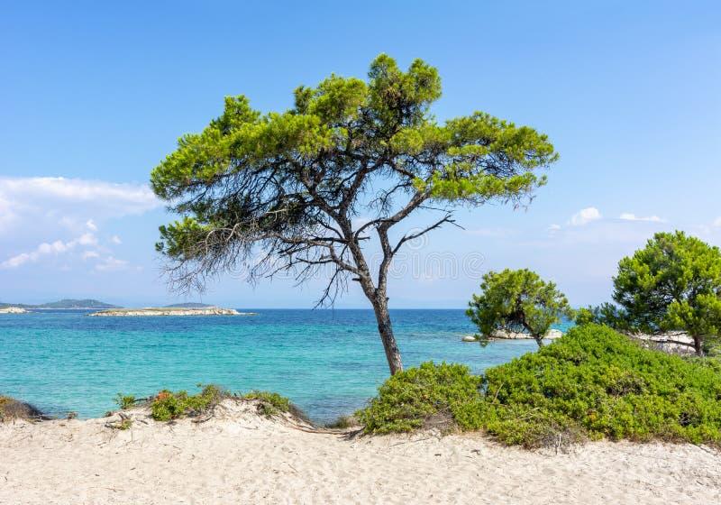 Pine tree on Karydi beach in Vourvourou, Sithonia, Chalkidiki, Greece stock photography